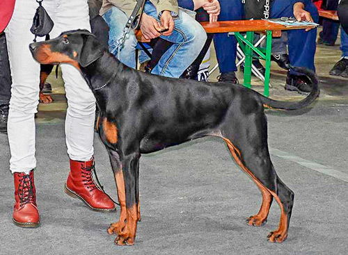 dobermann pups te koop